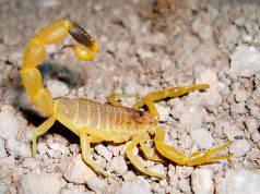 scorpione punge neonata