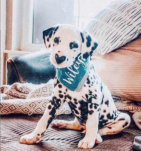 wiley-cucciolo-dalmata-instagram