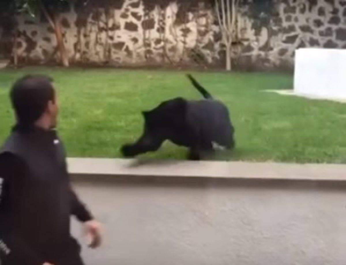 pantera nera aggredisce uomo