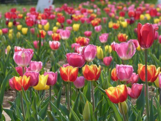 giardino tulipani italiani