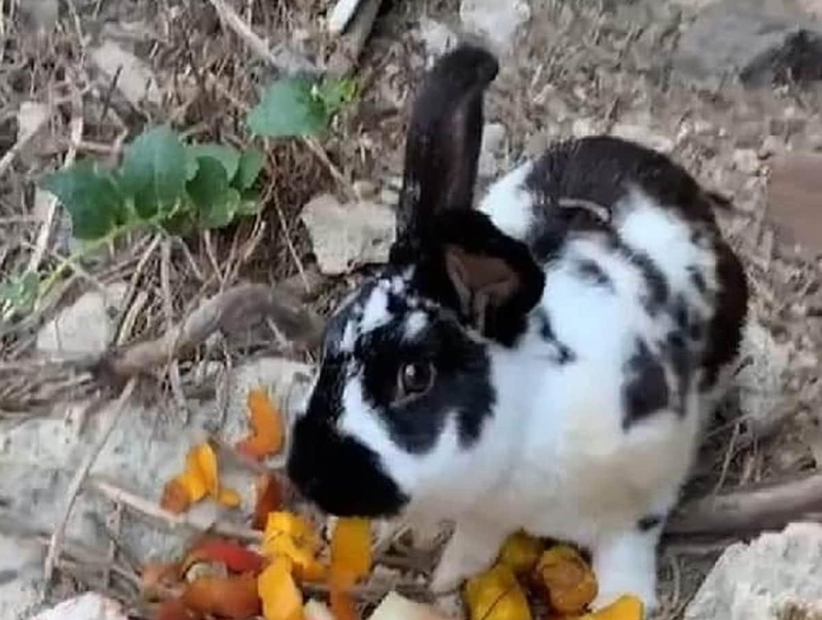 ischia coniglio roger lapidato