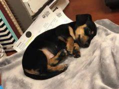 """Porta il cane dal veterinario: l'animale soppresso """"per sbag"""