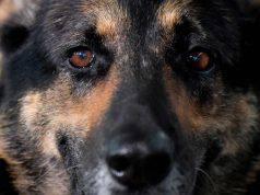 Padova, bocconi avvelenati in giardino: muore pastore tedesco