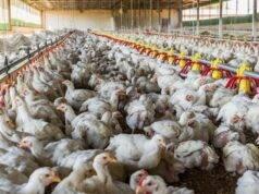 """Dopo il Coronavirus l'influenza aviaria: """"Potrebbe cancellar"""