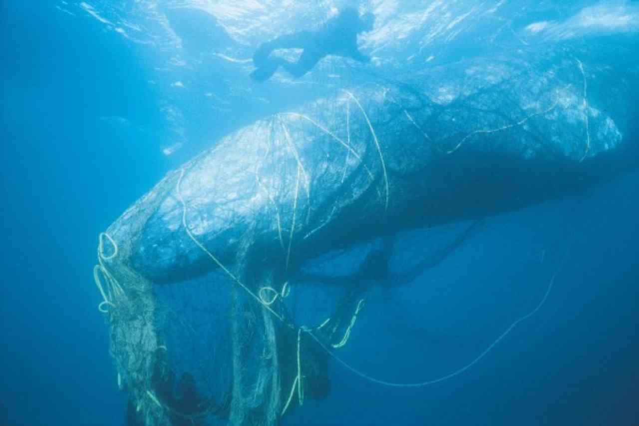 balena intrappolata