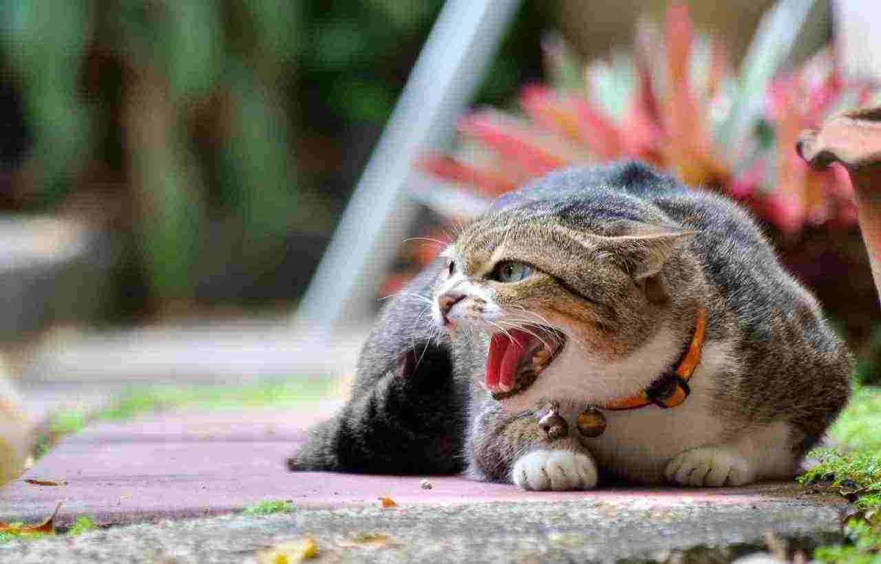 gatto COronavirus