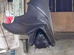 """Pipistrello dalle dimensioni umane sconvolge il web: """"E' Bat"""