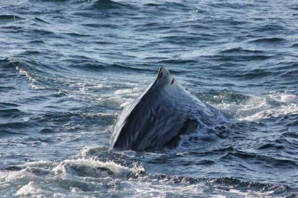 Capodoglio Furia bycatch