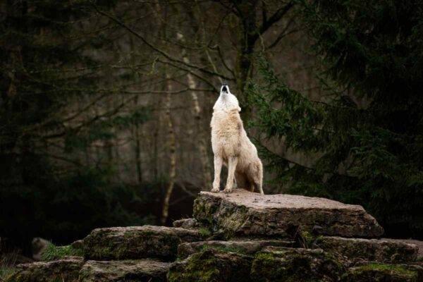 cosa fare se si incontra un lupo
