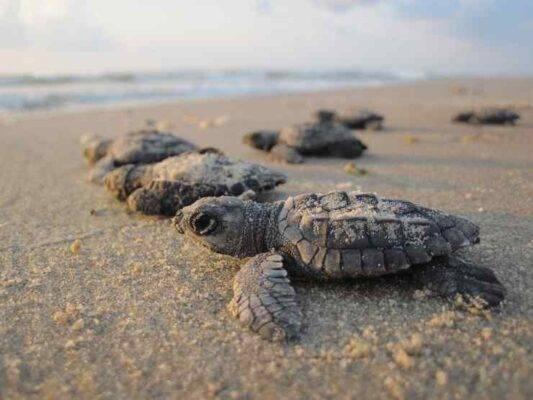 Dove sono i nidi di tartarughe marine in Italia