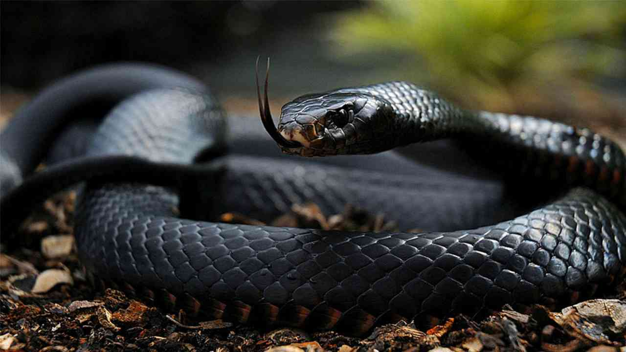 black mamba serpente