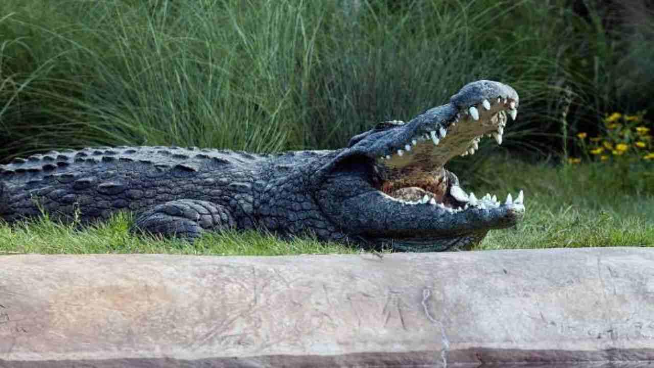 coccodrillo mangia bambino