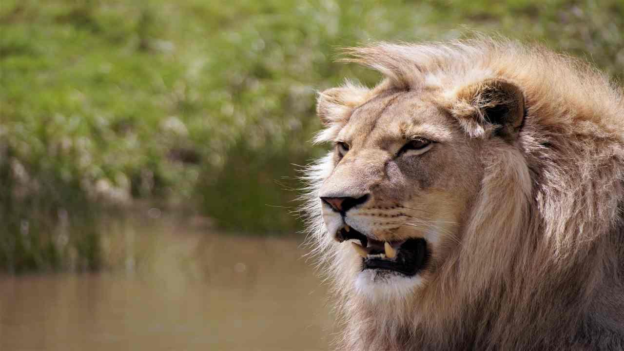 Sbranato dai leoni Mathewson