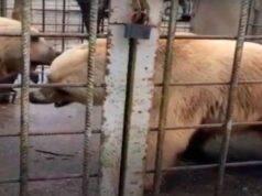bambino ucciso dagli orsi