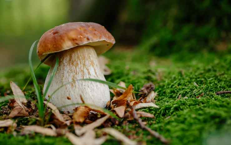 Funghi porcini, come cercarli
