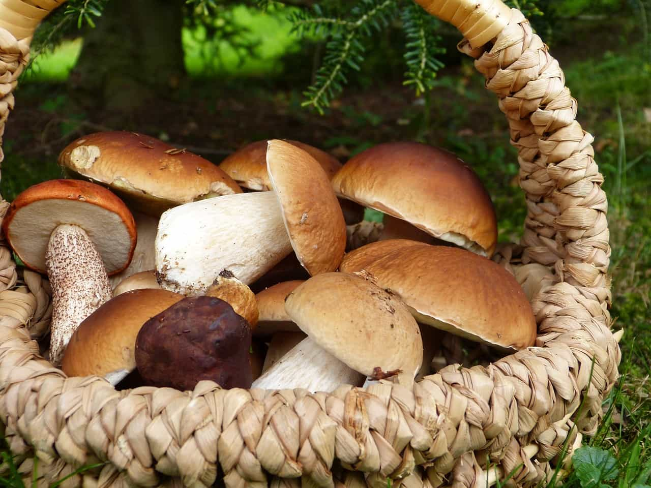 boschi funghi porcini italia