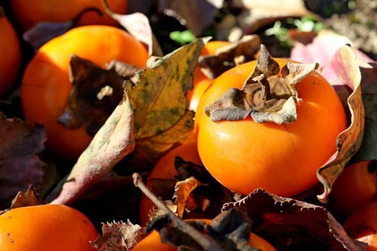 cachi autunno