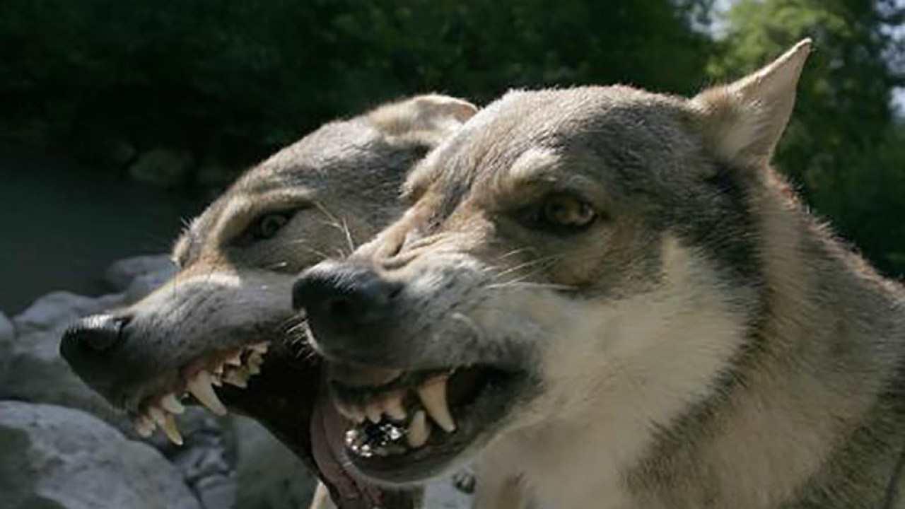 donna sbranata cane lupo cecoslovacco