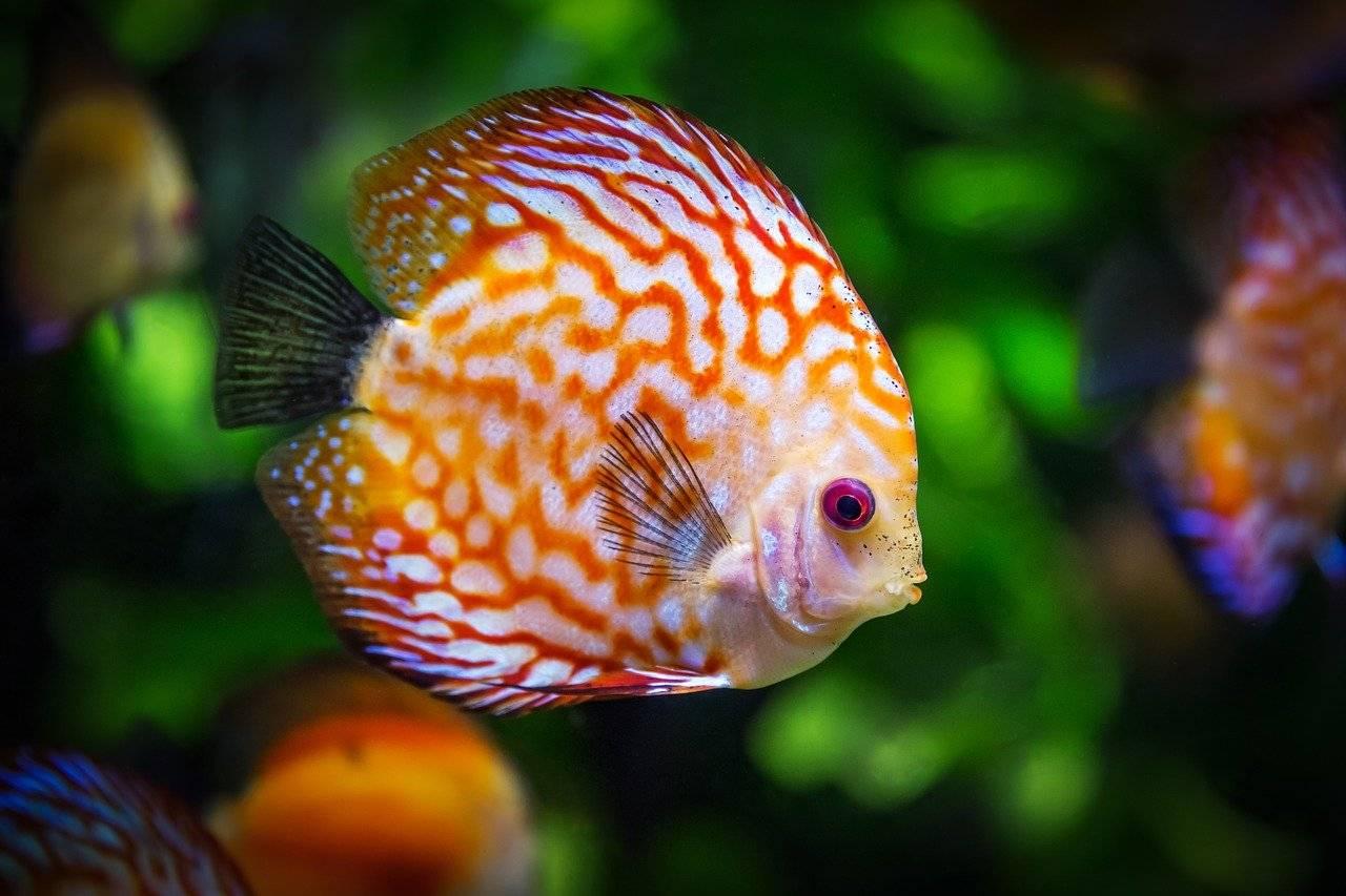 i pesci cantano