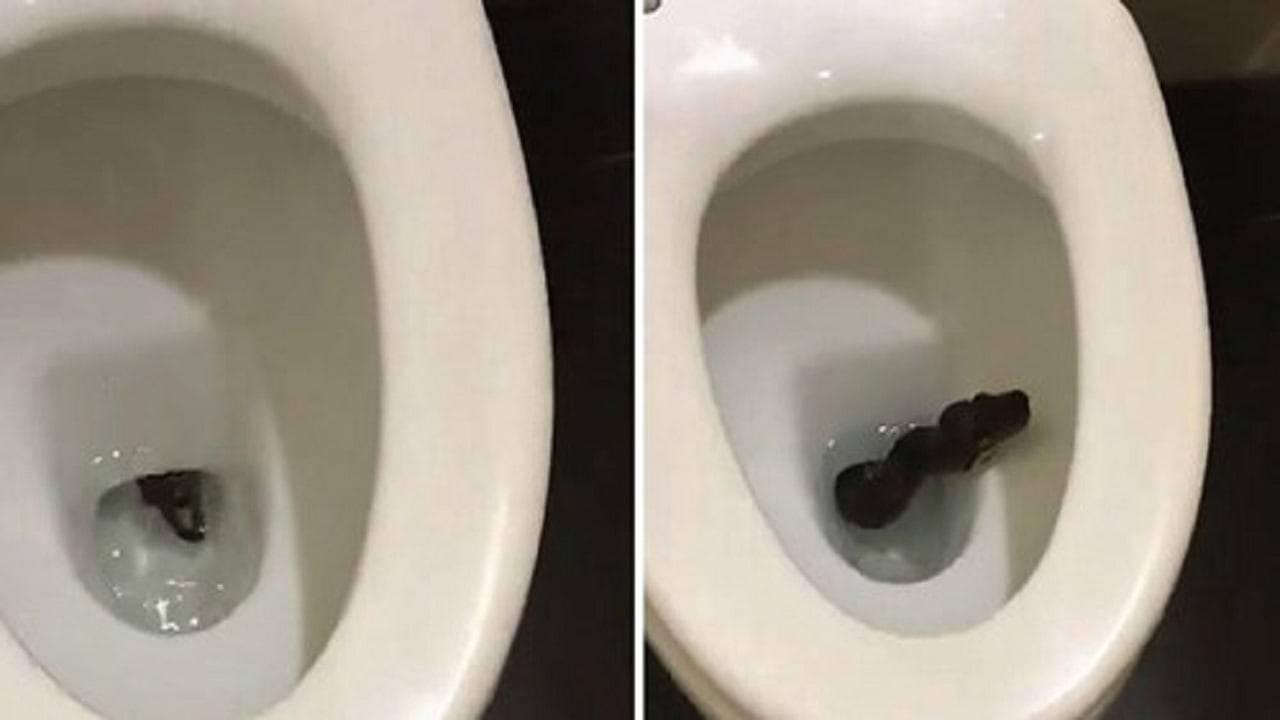 serpente nero esce dal water