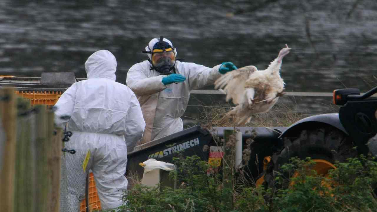 influenza aviaria Francia abbattimenti