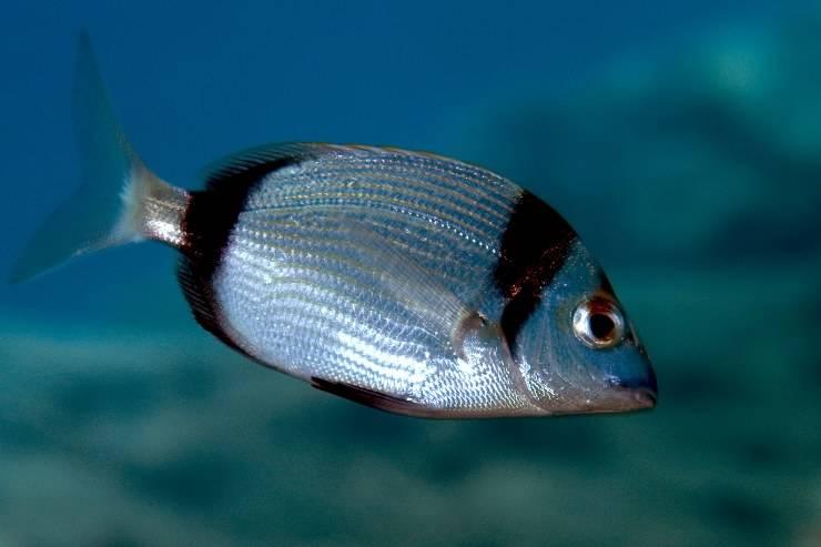 Sarago, pesce simile all'occhiata