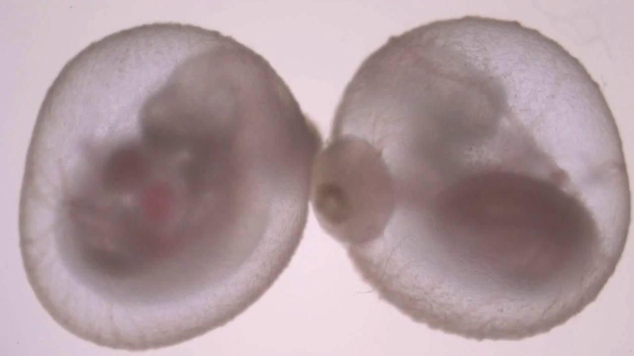 Embrioni topi provetta