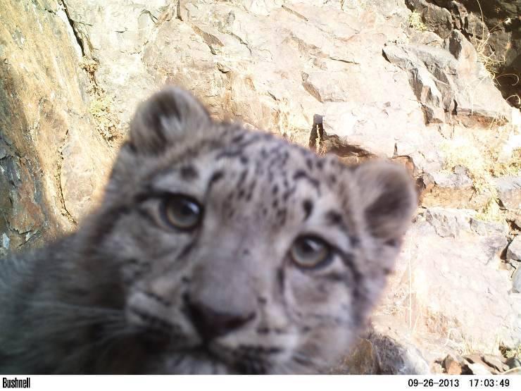 wwf, il leopardo delle nevi