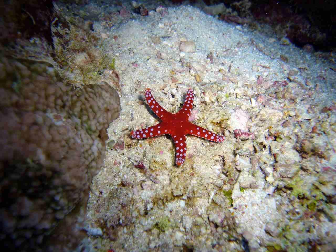 animali del Mediterraneo, la stella marina rossa
