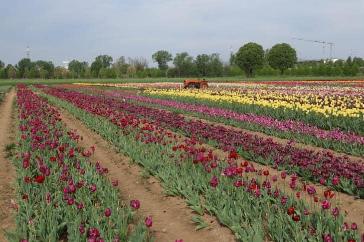 campo tulipani arese