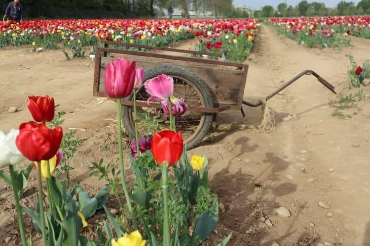 fioritura dei Tulipani