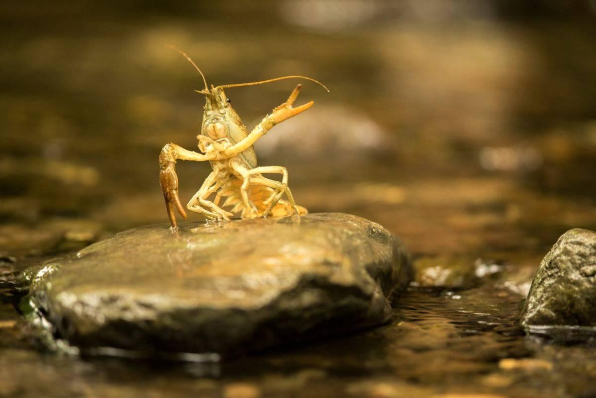 Life Claw, il progetto per preservare il gambero di fiume