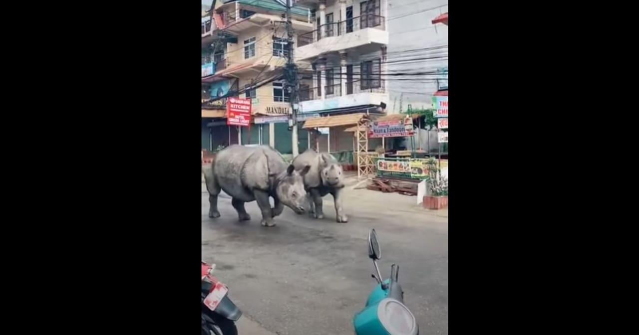 Altro che cinghiali, sono arrivati i rinoceronti nelle strade