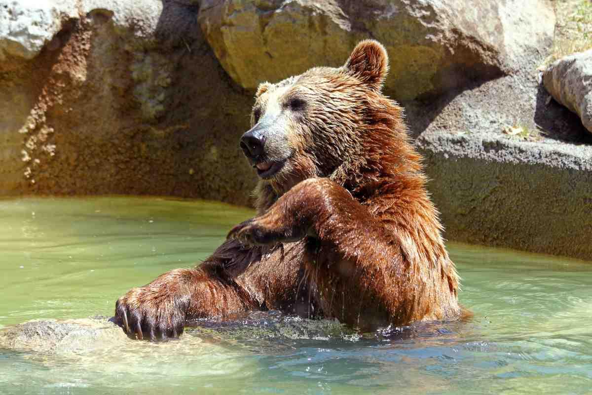 La famiglia di orsi si tuffa in piscina