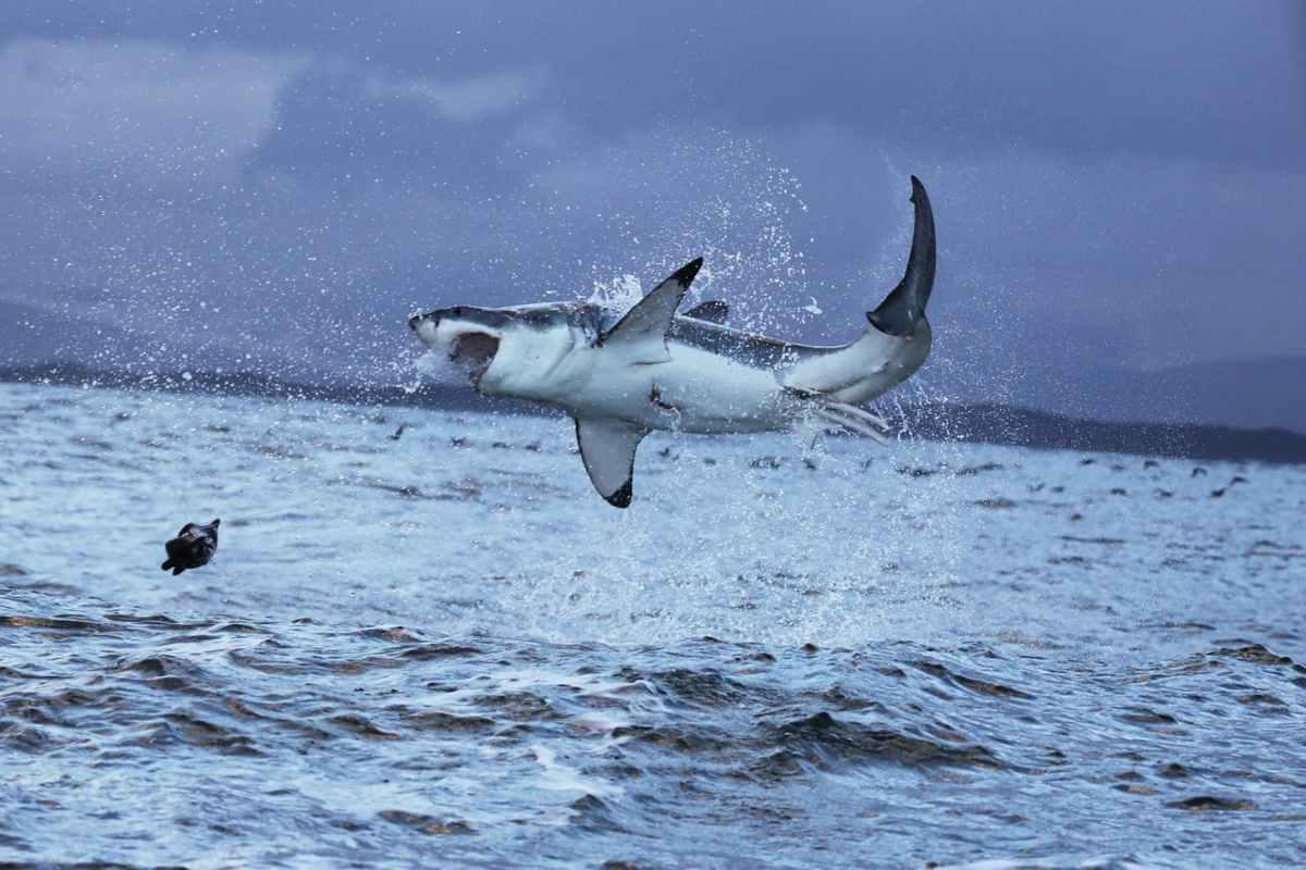 Lo squalo bianco divora la sua preda