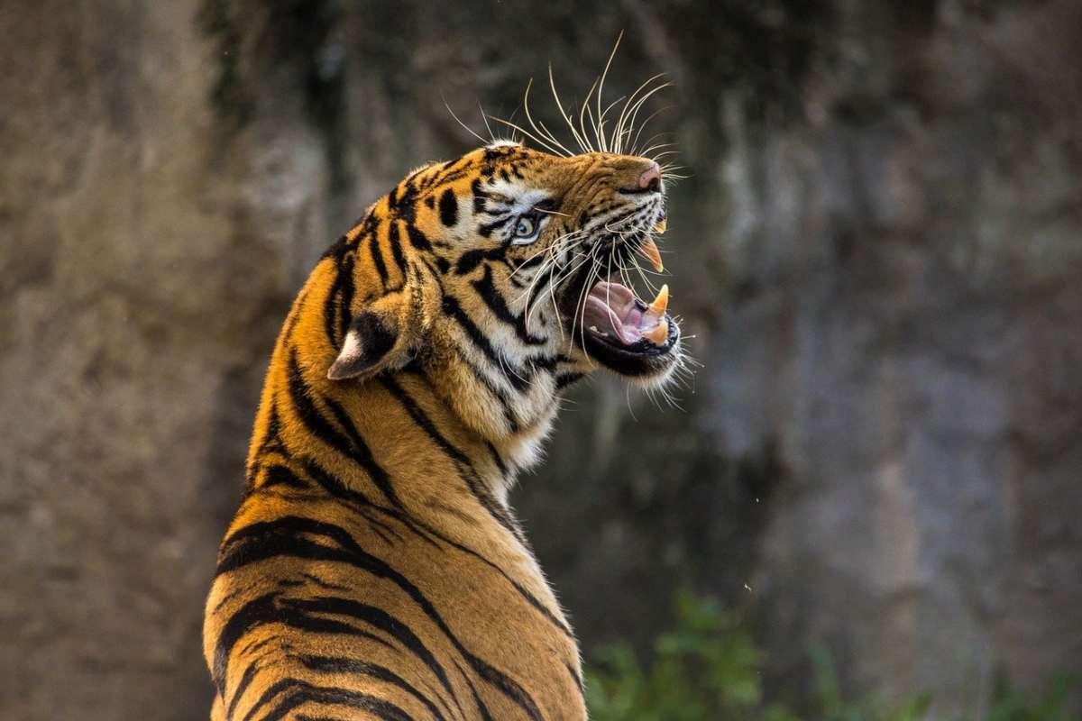 Emergenza estinzione tigre