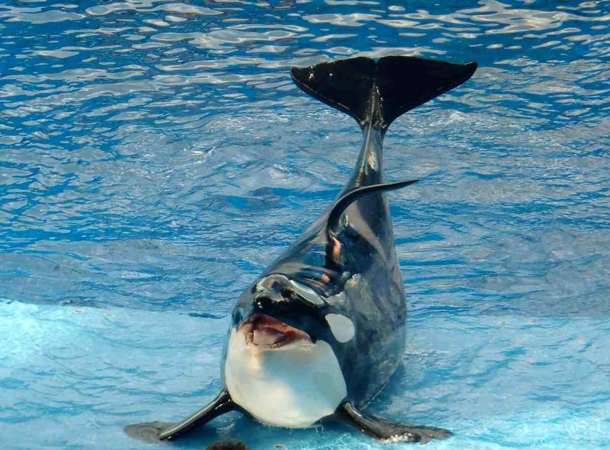 Perché la pinna delle orche è piegata