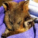 'Autumn', an orphaned Quokka, sleeps in