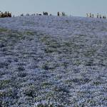 Nemophila Harmony Festival Blossoms In Hitachinaka