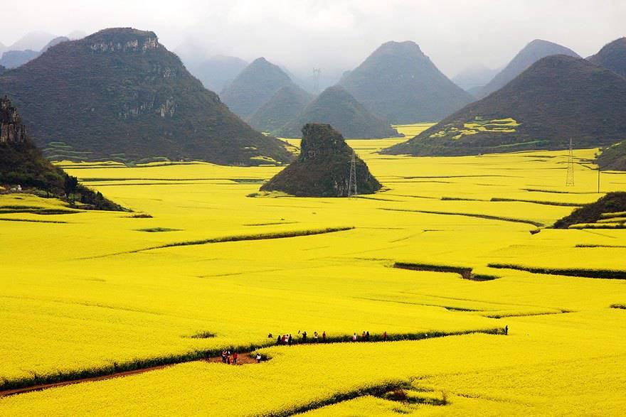 Campo di fiori a Canola, Cina.