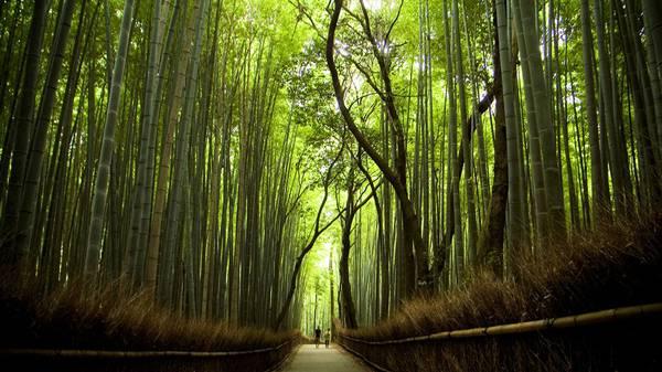 Foresta di bambù di Sagano Giappone