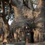 baobab-tree-bar