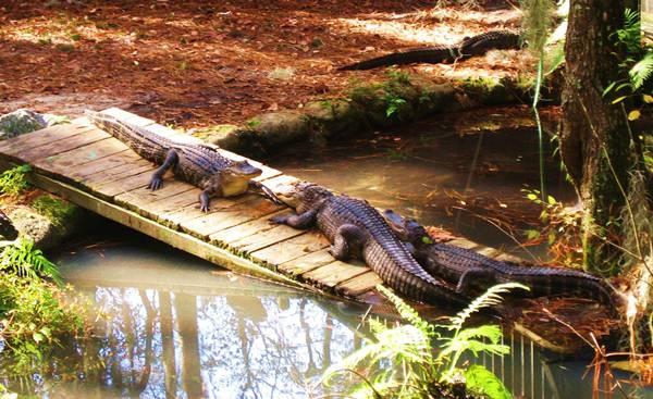 Stati Uniti Georgia Okefenokee Swamp Park