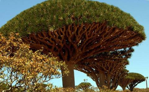 A picture shows the Dragon Blood tree on