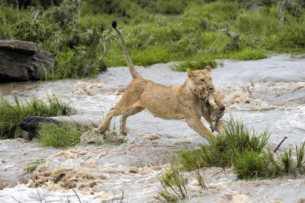 La mamma leonessa mentre porta in salvo il suo cucciolo