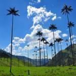 palms-in-valle-del-cocora