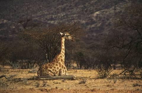 Seated Giraffe