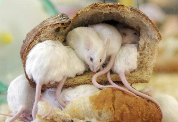 Mice peer out from a loaf of bread which