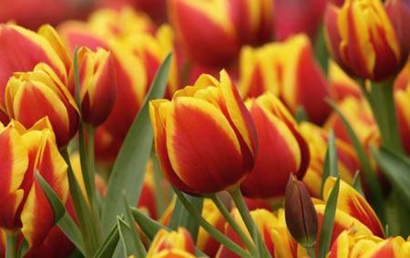 tulipani-floriade